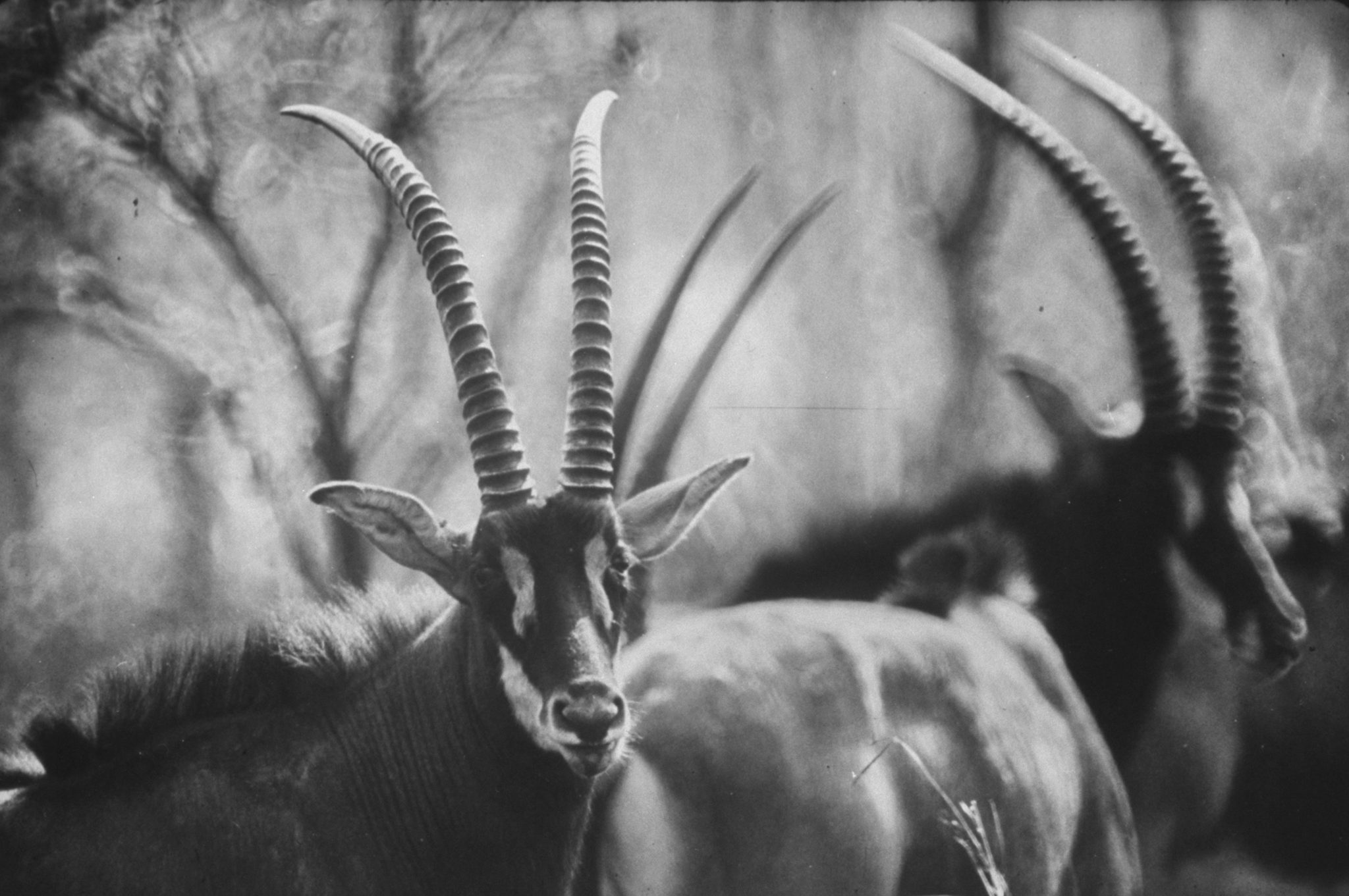 Giant sable antelopes roaming the Luanda game preserve. (Photo by Carlo Bavagnoli/The LIFE Picture Collection © Meredith Corporation)