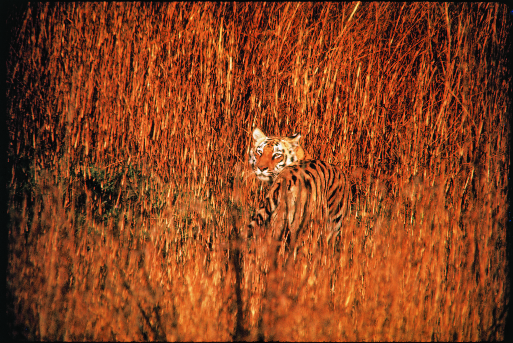 A tiger setting out at dusk for night of hunting in Kanha National Park, Central India(Photo by Stan Wayman/The LIFE Picture Collection © Meredith Corporation)