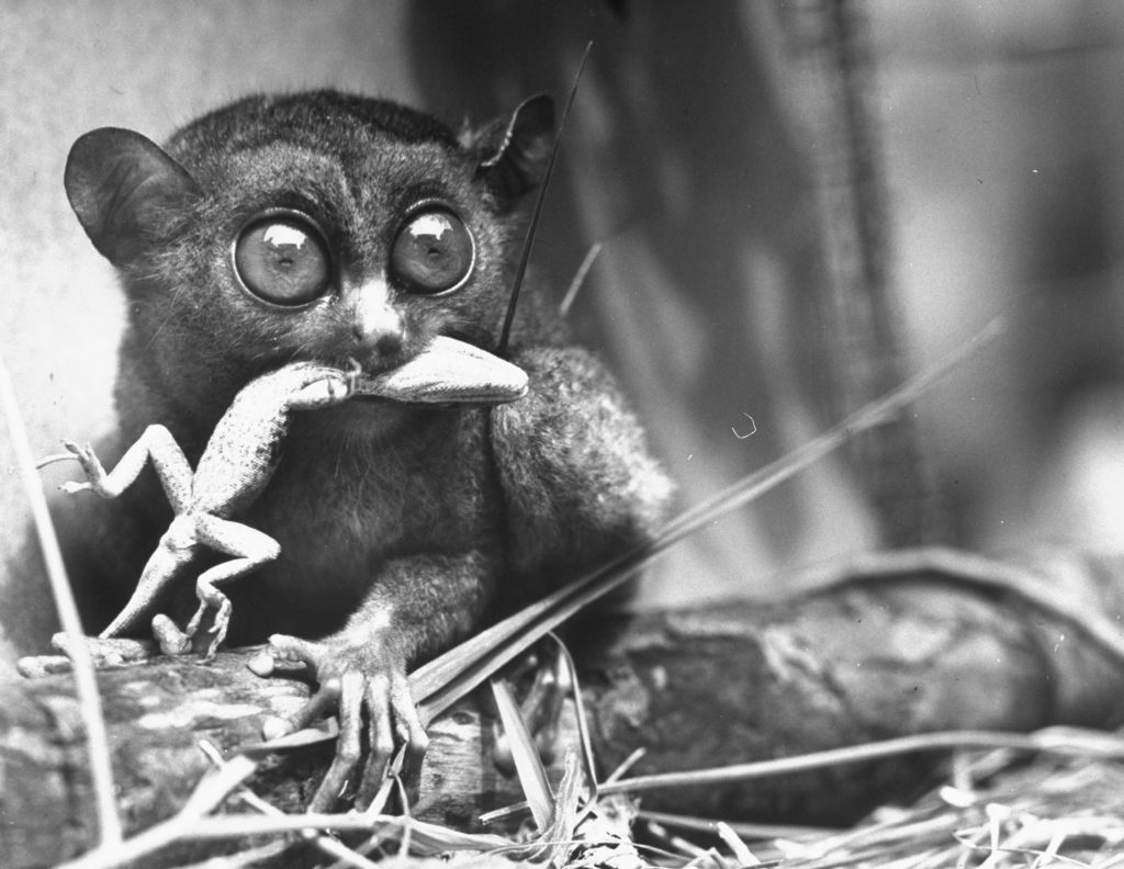 Tarsiers,an animal native to Indonesia and Philippines, eating a lizard alive. (Photo by Sam Shere/The LIFE Picture Collection © Meredith Corporation)