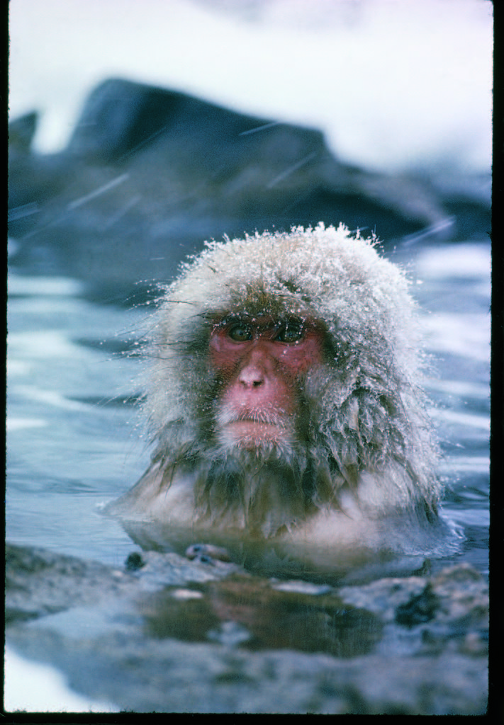 Japanese macaque or snow monkey sitting in waters of a hot spring in the Shiga Mountains during a snowfall. (Photo by Co Rentmeester/The LIFE Picture Collection © Meredith Corporation)