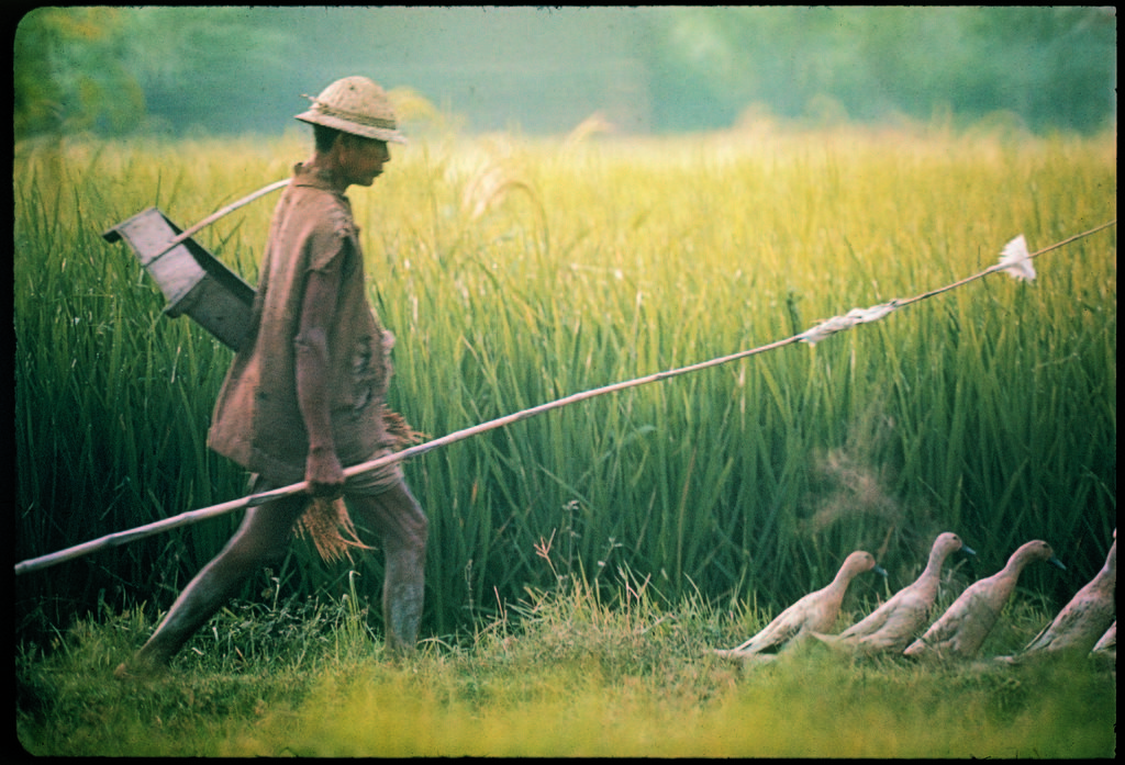 Balinese farmer herding his flock of ducks through a field. (Photo by Co Rentmeester/The LIFE Picture Collection © Meredith Corporation)