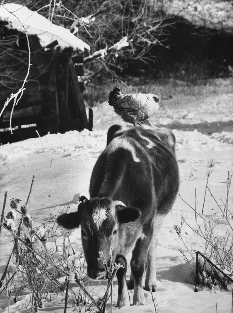 """A cow is a rare sight in Appalachia. The people are not country folk but an industrial population who happen to live in the country and have little feeling for the soil. Many keep chickens, but farming is seldom practiced."""""""