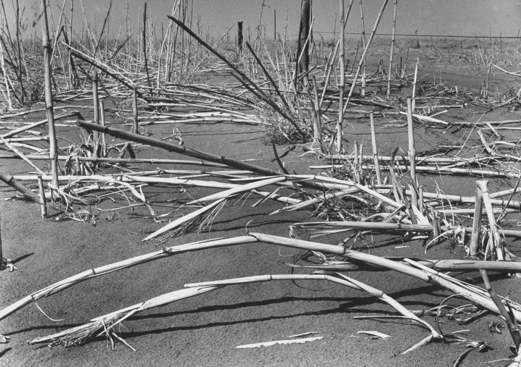 Felled broomcorn, dust and wind victim, lies near Walsh, once 'Broomcorn Capital of U.S.