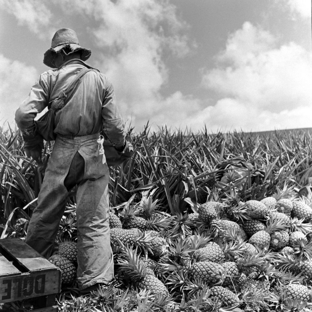 A worker on the Dole plantation in Hawaii.