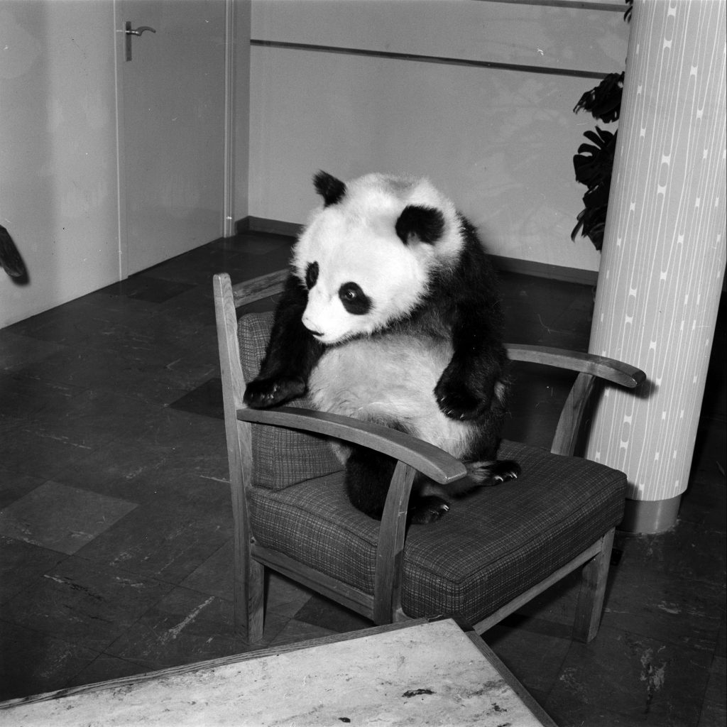 Giant Panda Chi Chi from China in 1958