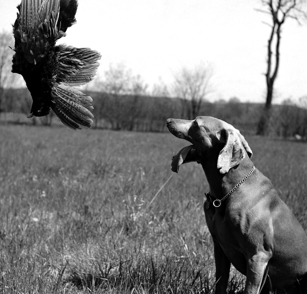Photos of Weimaraner dogs from LIFE magaizne 1950