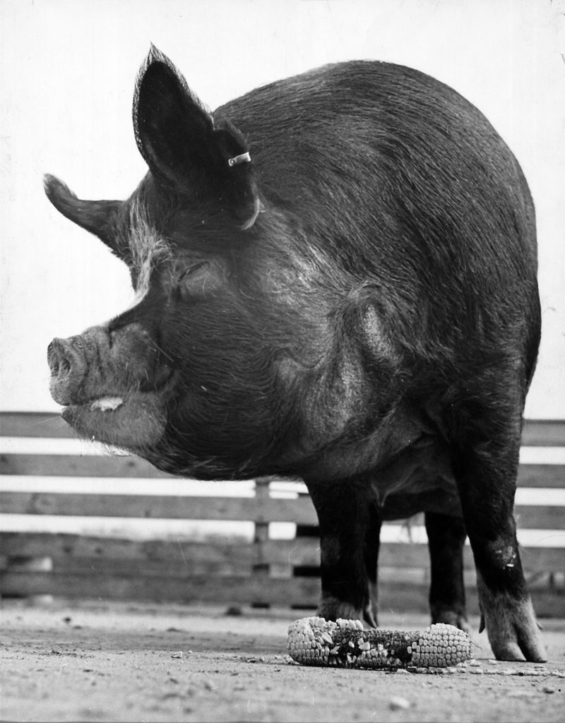 National Pig Day