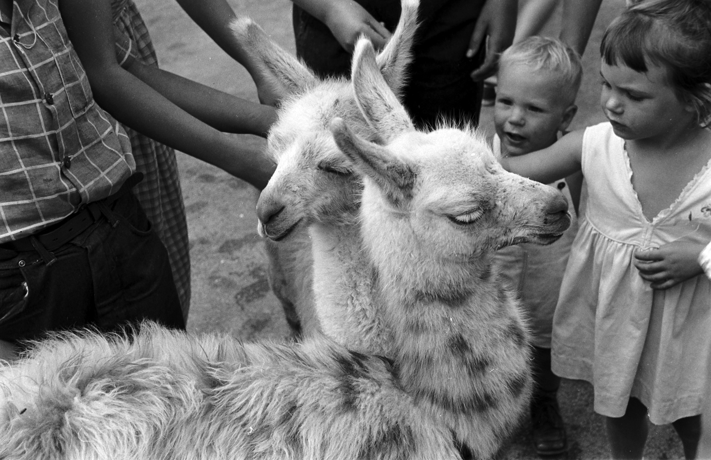 Baby llamas at the Brookfield Children's Zoo in Chicago, 1953.