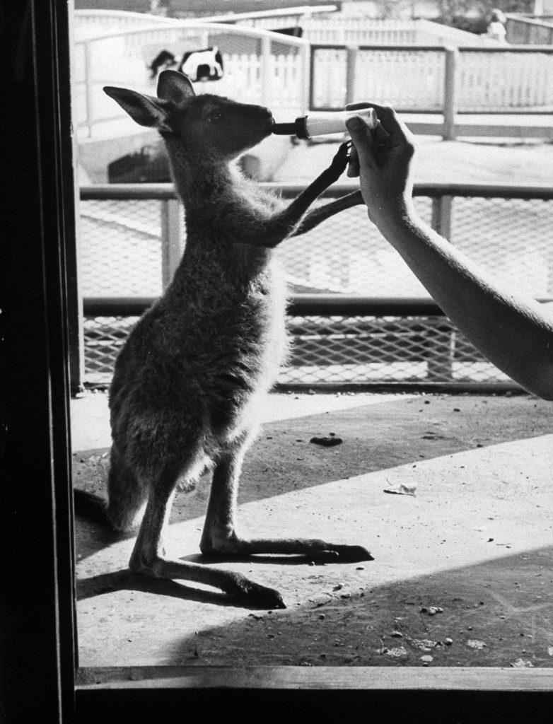 Baby kangaroo being bottle fed at Brookfield Children's Zoo. Chicago, 1953.