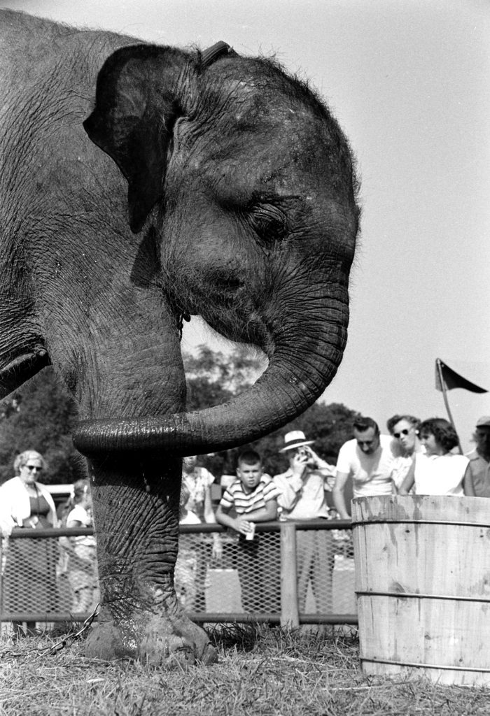 A baby elephant at the Brookfield Children's Zoo in Chicago, 1953.