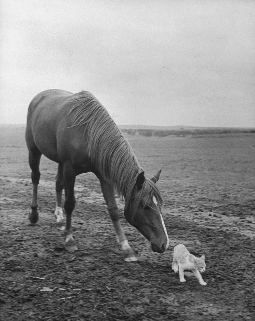 Stallion trying to make friends with a barn cat, 1943.