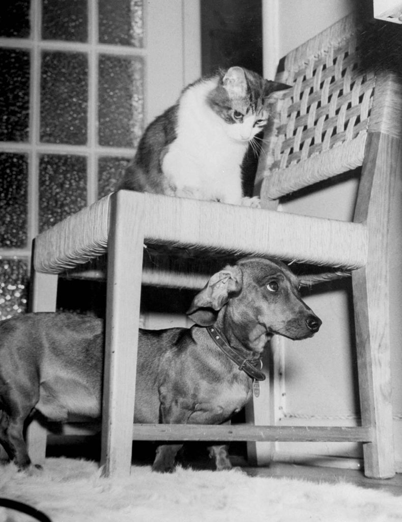 """Rudy the Dachshund and Trudy the cat engaged in hide and seek or'pounce on the dog"""" in prelude to friendly roughhousing wrestling match between the pet housemates. 1946."""