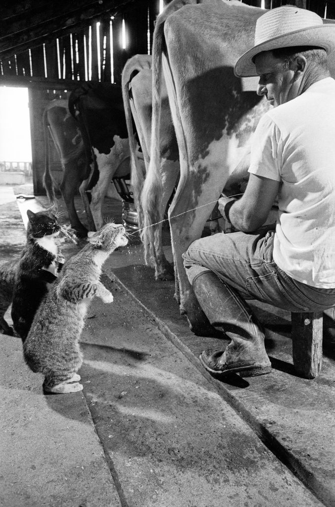 Cats Blackie Brownie catching squirts of milk during milking at Arch Badertscher's dairy farm. 1954.