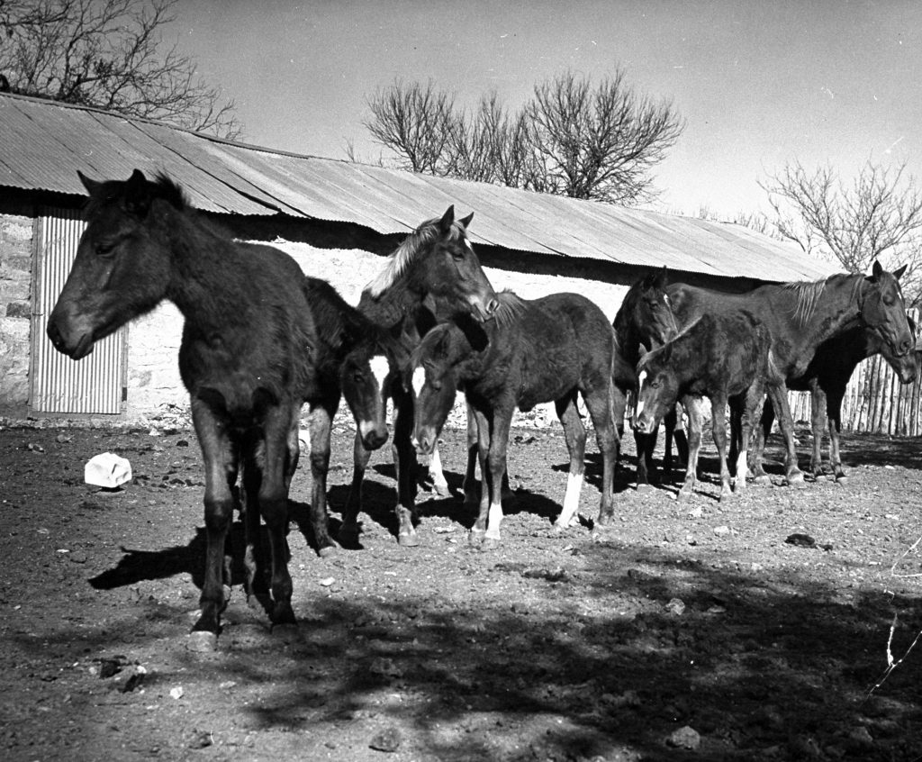 Polo ponies standing in corral at the Peachtree Ranch in Texas, 1939.