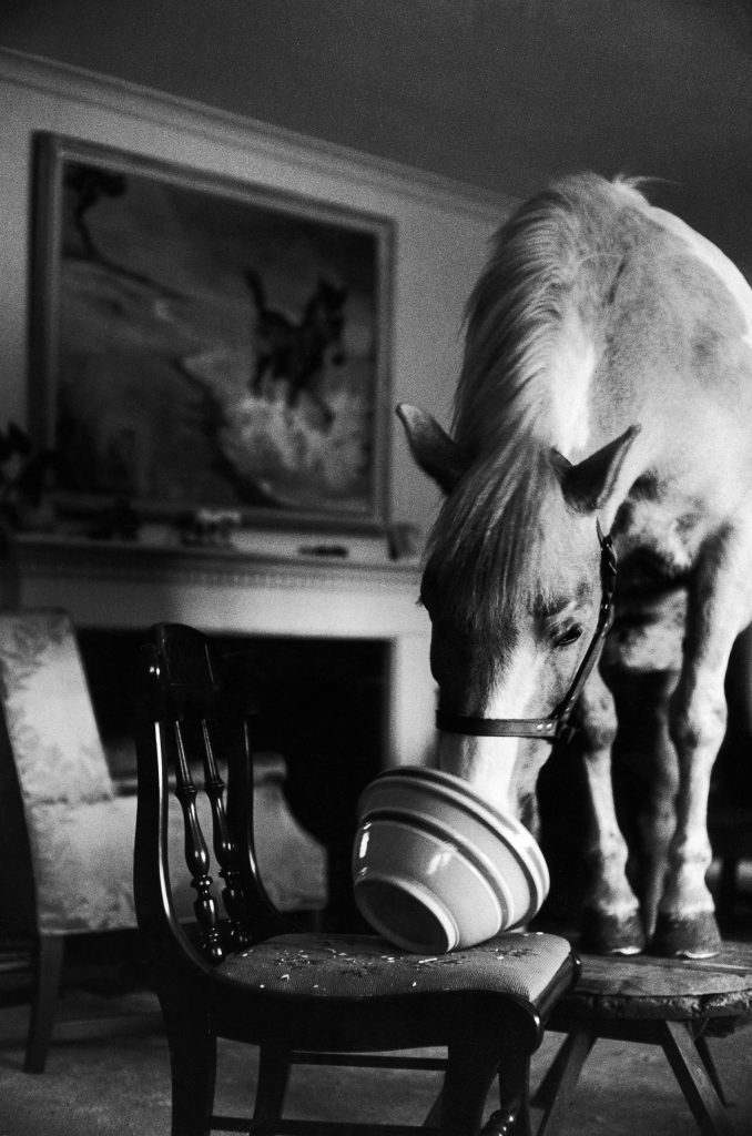 """""""Misty of Chincoteague"""" wild horse at farewell party before returning home to Chincoteague Island, 1957."""