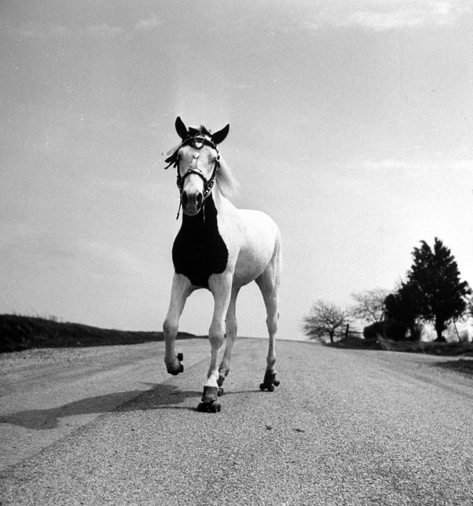 Jimmy the horse rollerskating down road in front of its farm, 1963.